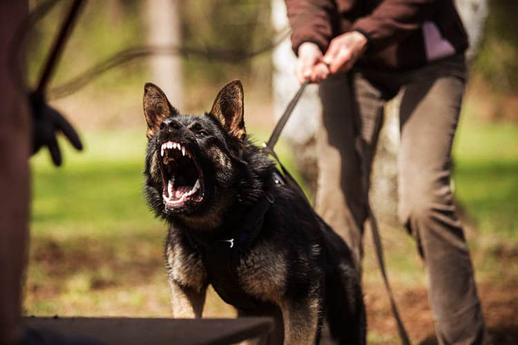 German Shepherd on the attack