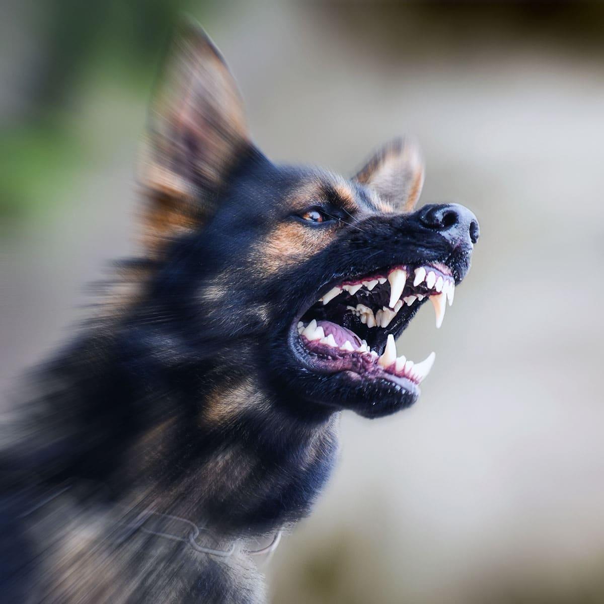 vicious dog barking and attacking